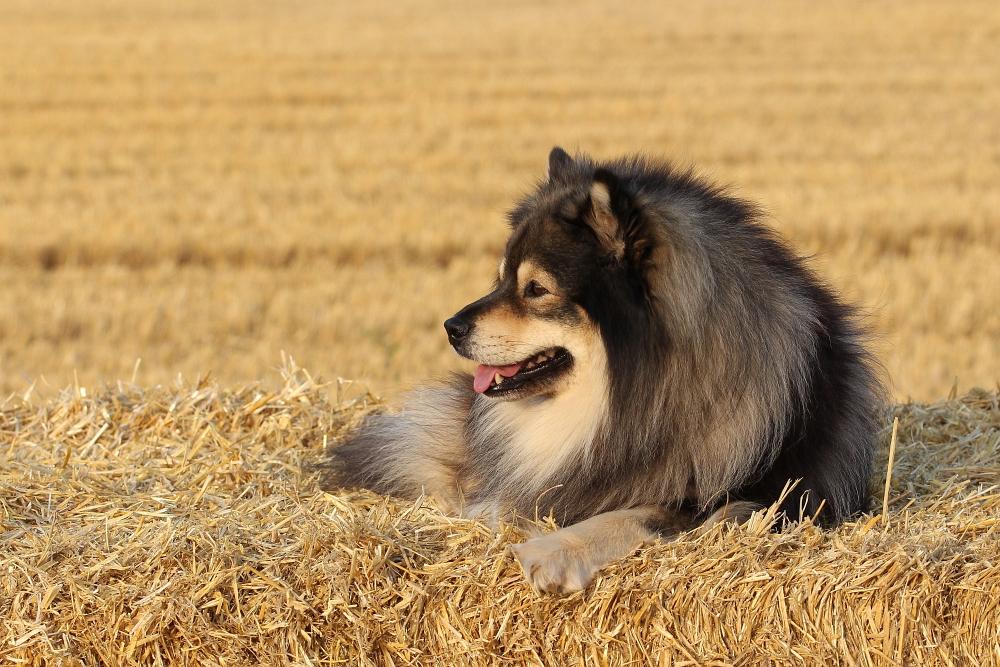 Finnischer Lapphund Rüde Mika