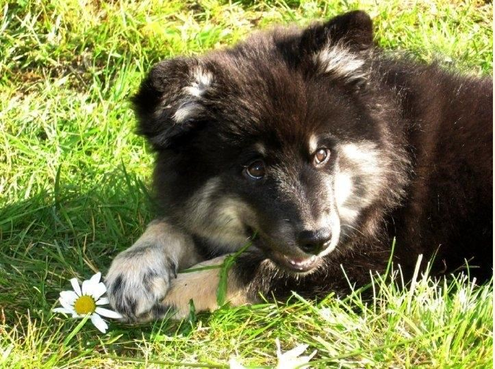 Finnischer Lapphund Mia