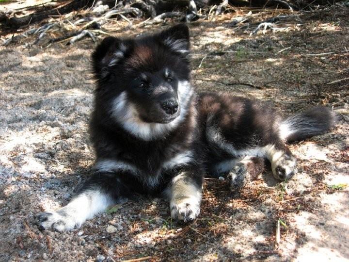 Finnischer Lapphund Midvinterlandets Mirakelbruden
