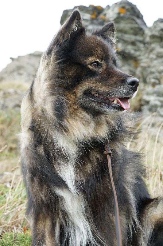 Finnischer-Lapphund-Tammikoira-Cap-Carteret.JPG