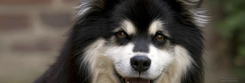 Finnischer Lapphund Vasko