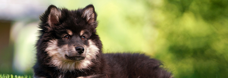 Finnischer Lapphund Welpe - Janet Scheidig